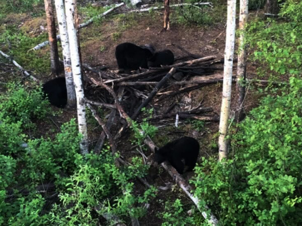 Group of Black Bear